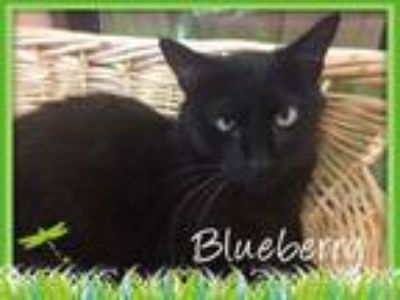 Adopt Blueberry a American Shorthair