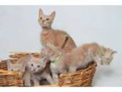 Adopt 19-1129C a Cream or Ivory Domestic Shorthair / Domestic Shorthair / Mixed