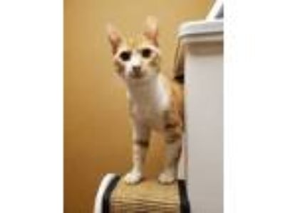 Adopt Luna a Orange or Red Domestic Shorthair / Domestic Shorthair / Mixed