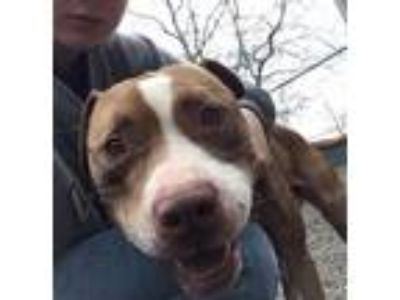 Adopt Chico #1 a Brown/Chocolate - with White Pit Bull Terrier / Mixed dog in