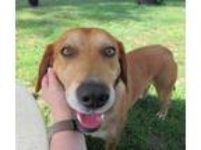 Adopt Stitch a Brown/Chocolate - with White Labrador Retriever / Mixed dog in