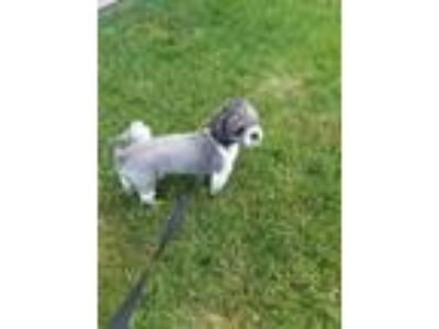 Adopt NEO-coming soon a Gray/Blue/Silver/Salt & Pepper Shih Tzu / Poodle