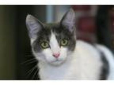 Adopt Sabine a Domestic Shorthair / Mixed cat in San Diego, CA (25877903)