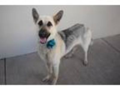 Adopt Beauty a Tan/Yellow/Fawn - with Black German Shepherd Dog / Mixed dog in