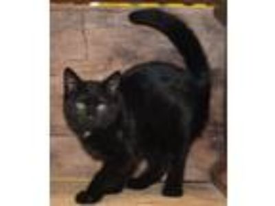 Adopt Snoopy a All Black Domestic Shorthair / Mixed cat in Front Royal