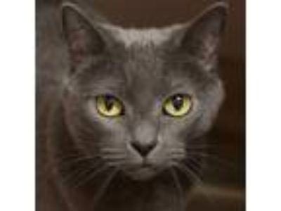 Adopt Sophia -- Bonded Buddy With Midnight a Domestic Shorthair / Mixed cat in