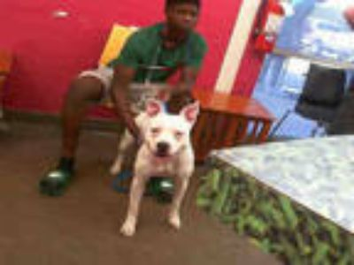 Adopt QUEEN a White - with Gray or Silver American Pit Bull Terrier / Mixed dog