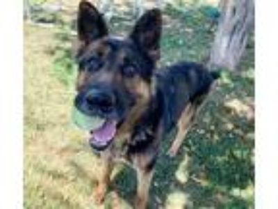 Adopt Gentry a Tricolor (Tan/Brown & Black & White) German Shepherd Dog / Mixed