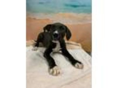 Adopt BRIAN a Black German Shorthaired Pointer / Mixed dog in Tangent