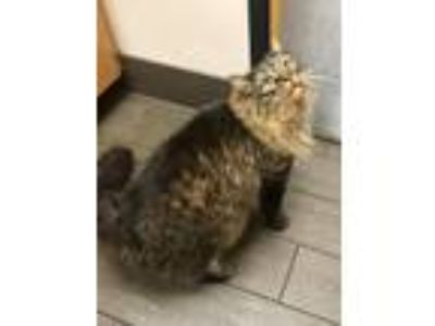 Adopt Clyde in CT a Tan or Fawn Tabby Maine Coon (long coat) cat in East
