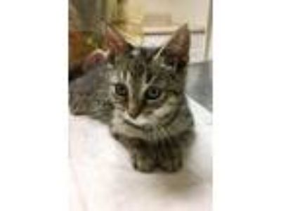 Adopt Popi a Domestic Short Hair