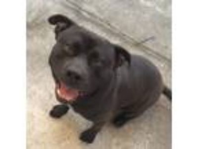Adopt Lucian a Black American Staffordshire Terrier / Mixed dog in Orlando