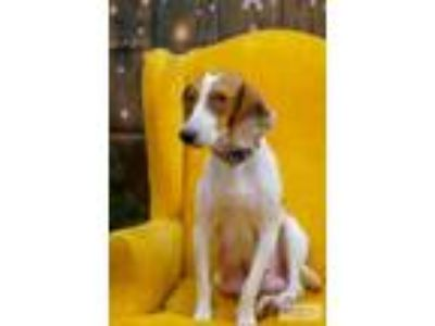 Adopt Abby and Mikko a Beagle
