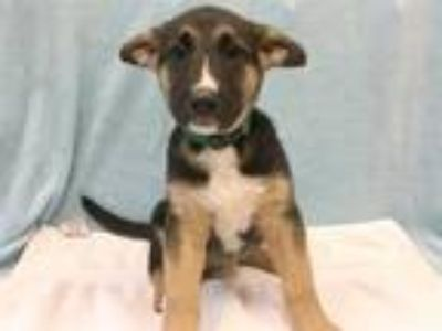 Adopt Patton a German Shepherd Dog