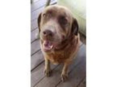 Adopt Lulu a Labrador Retriever, Mixed Breed