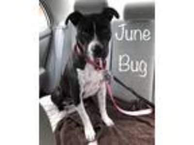 Adopt Junebug a Black - with White Boxer / Pointer / Mixed dog in Reisterstown