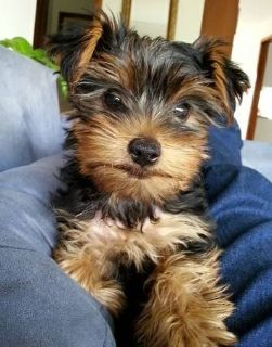adoption this fun master Yorkie to spies up your Xmas,call or text me at 252 394 8675 for detail...