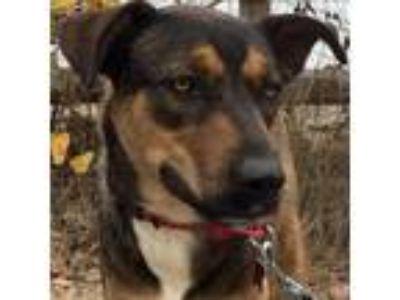 Adopt Reece a Tricolor (Tan/Brown & Black & White) Shepherd (Unknown Type) /