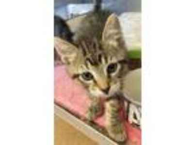 Adopt Cowardly Lion a Domestic Shorthair / Mixed cat in Dublin, CA (25347199)
