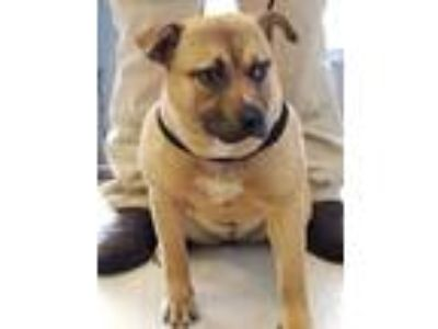 Adopt Kate a Tan/Yellow/Fawn Mixed Breed (Large) / Mixed dog in Greenville
