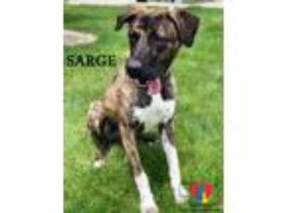 Adopt Sarge a Australian Cattle Dog / Blue Heeler