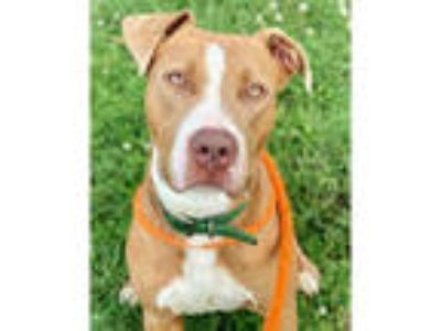 Adopt PRIMO a Brown/Chocolate - with White American Pit Bull Terrier / Mixed dog