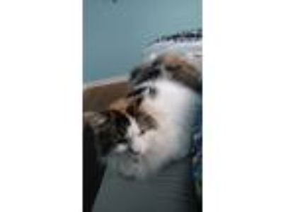 Adopt Cookie and Sprinkles a Calico or Dilute Calico Manx / Mixed cat in