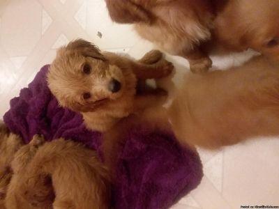 Goldendoodle Puppies!