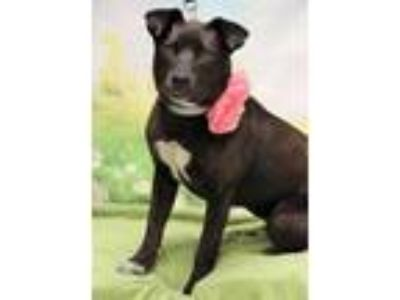 Adopt Okie a Black Labrador Retriever / Mixed dog in Twin Falls, ID (25298955)