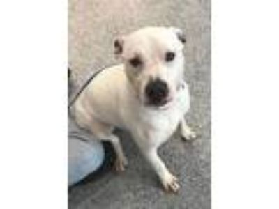 Adopt LeStat a Pit Bull Terrier / Mixed dog in Angola, IN (25349174)