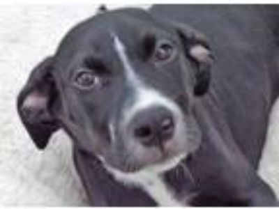 Adopt Sherry a Black - with White Whippet dog in La Crosse, WI (25904562)