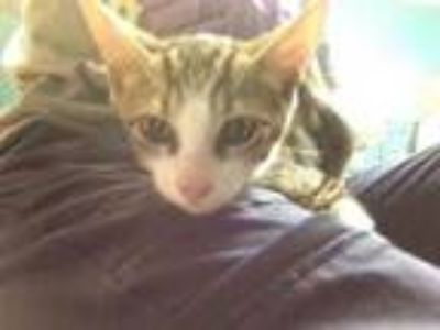 Adopt Eggy a Brown or Chocolate Domestic Shorthair / Domestic Shorthair / Mixed