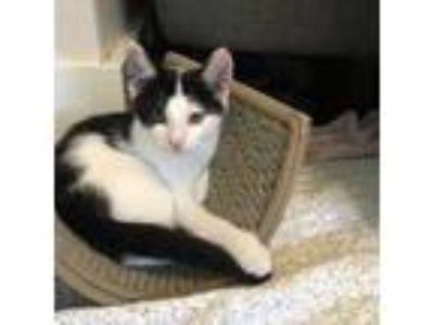 Adopt Donatello a White Domestic Shorthair / Domestic Shorthair / Mixed cat in