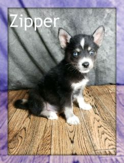 Zipper: Male Pomsky