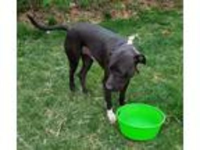 Adopt Jake a Black - with White Labrador Retriever / Pit Bull Terrier / Mixed