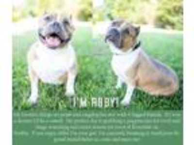 Adopt Ruby a Pit Bull Terrier, Mixed Breed