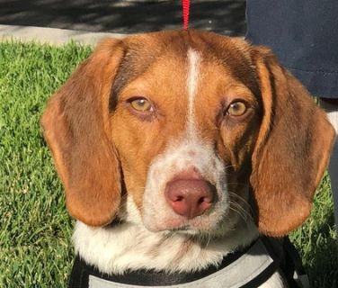 Beagle PUPPY FOR SALE ADN-96560 - Pure Breed AKC 7 Month Old Female Beagle