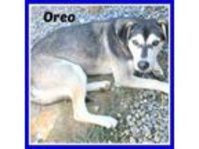 Adopt OREO a Siberian Husky