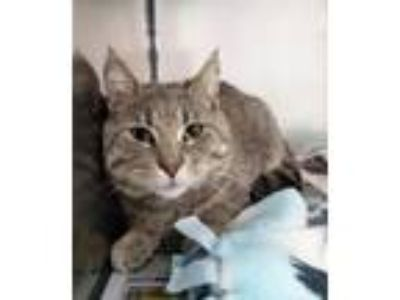 Adopt Powers a Domestic Shorthair / Mixed (short coat) cat in Angola