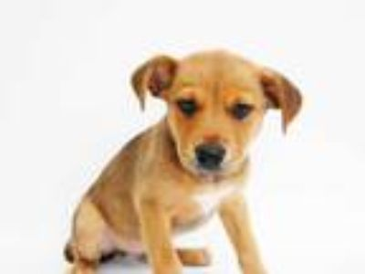 Adopt JUNO a Brown/Chocolate - with White Golden Retriever / Mixed dog in St.