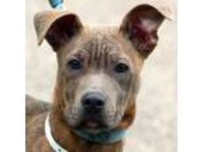 Adopt Pookie a Brindle American Staffordshire Terrier / Boxer / Mixed dog in