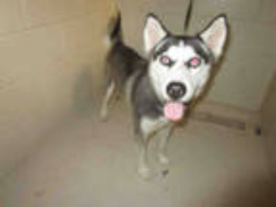 Adopt SASHA a Black - with White Husky / Mixed dog in Winter Haven