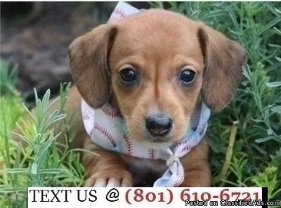 Respectful Mini Dachshund Puppies Available