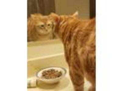 Adopt Jameson a Domestic Short Hair