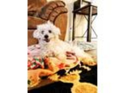 Adopt LouLou a White Poodle (Miniature) / Mixed dog in Bothell, WA (25551315)