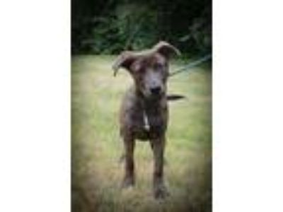 Adopt Maverick a Plott Hound, Labrador Retriever