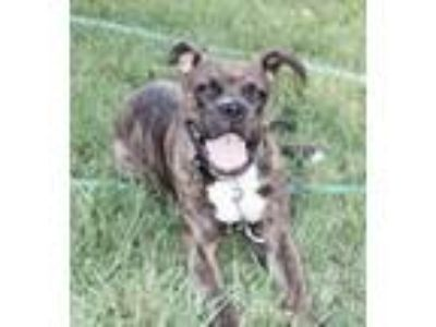 Adopt BELLA a Boxer / Mixed dog in Boise, ID (23127423)