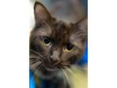 Adopt Coco *VIP* a Brown or Chocolate Domestic Longhair / Domestic Shorthair /