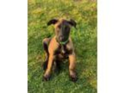 Adopt Kes Puppy Foster Needed 5/18 a Belgian Shepherd / Malinois