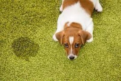 Eco green carpet cleaning. 100% pets and child safe!